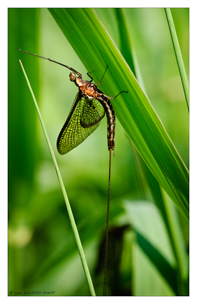 Black Mayfly