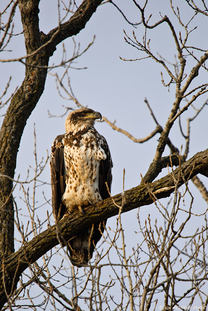 Young Bald Eagle sitting in a tree