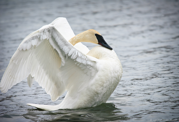 Trumpeter Swans are back 2
