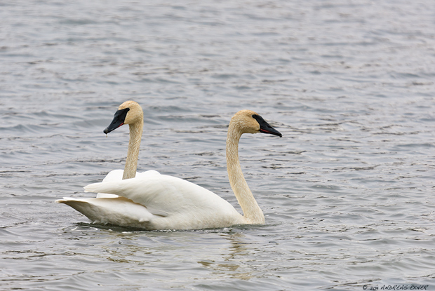Trumpeter Swans are back