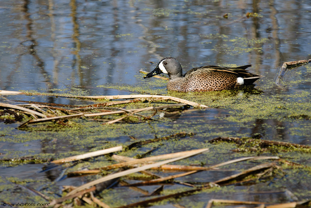 Blue-winged Teal 1