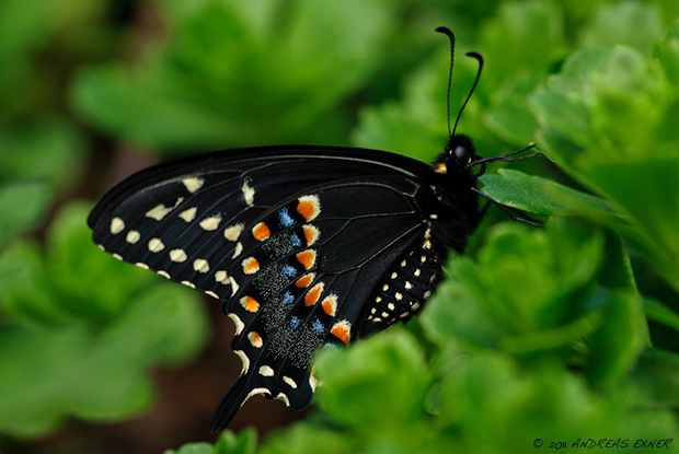 Eastern Black Swallowtail 1