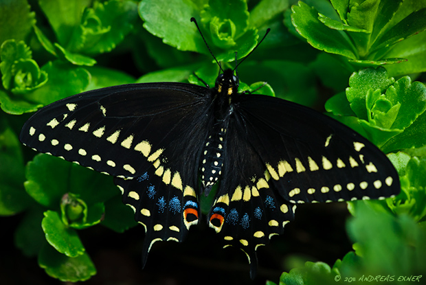 Eastern Black Swallowtail 2