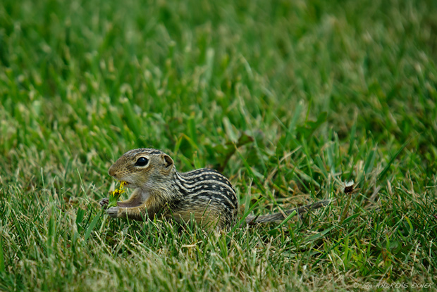 Thirteen-lined Ground Squirrel 2