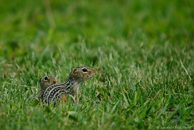 Thirteen-lined Ground Squirrel 1