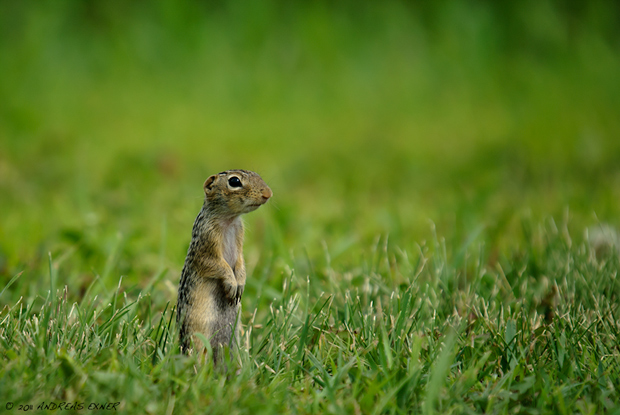 Thirteen-lined Ground Squirrel 3