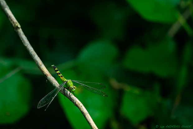 Green Clearwing Dragonfly