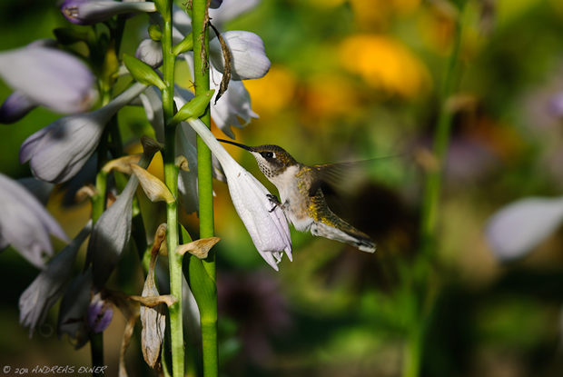 Ruby-throated Hummingbird 2