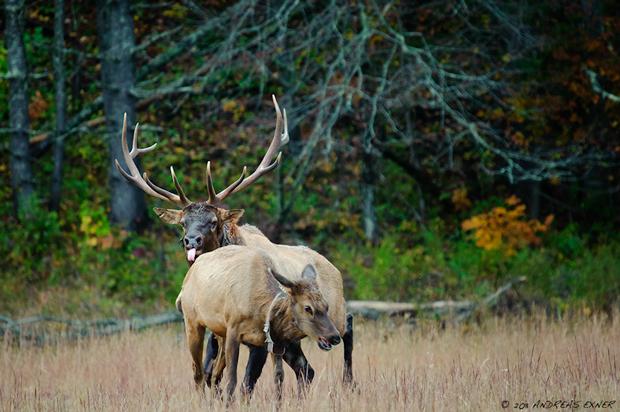 Elk chasing