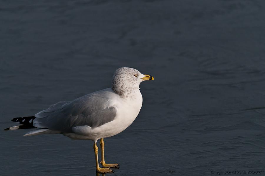 Ring-billed Gulls 3