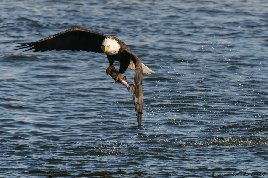Bald Eagle with fish
