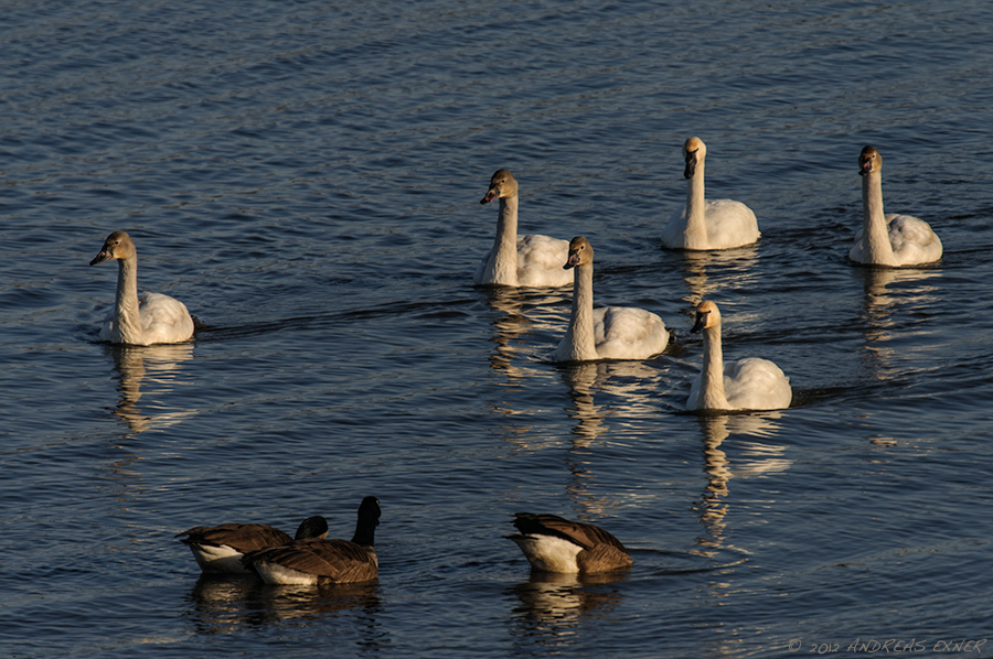 More Trumpeter Swans