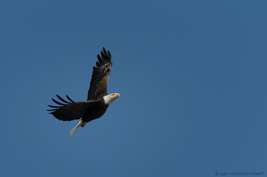 Bald Eagle in Dubuque
