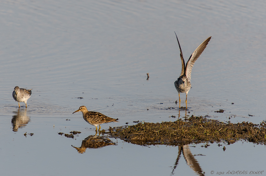 Lesser Yellowlegs 2