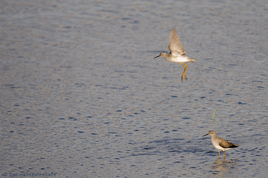 Lesser Yellowlegs 1