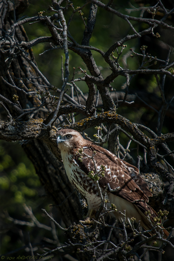 Red-tailed Hawk sitting in an oak