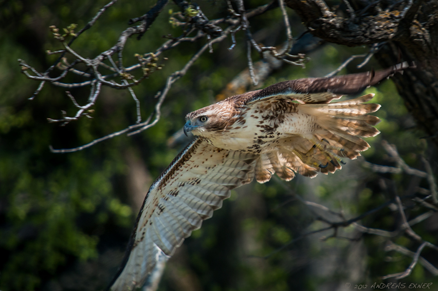 Red-tailed Hawk take-off