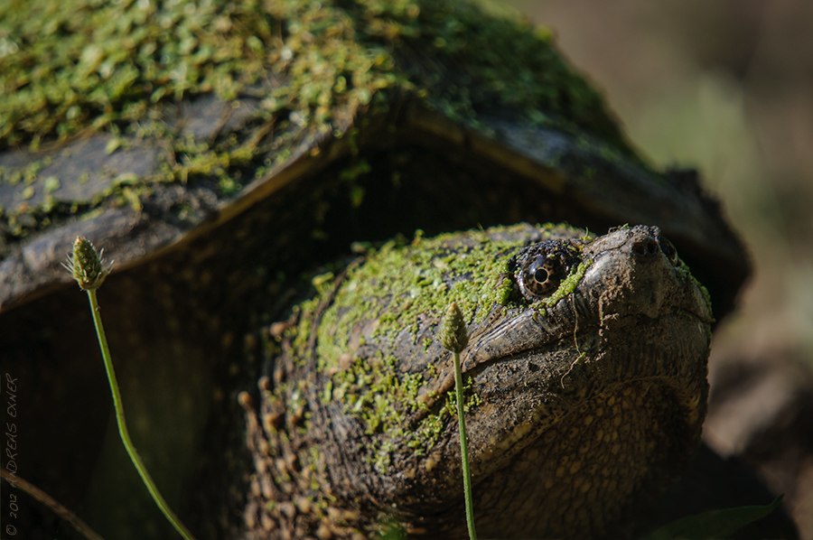 Common Snapping Turtle 2