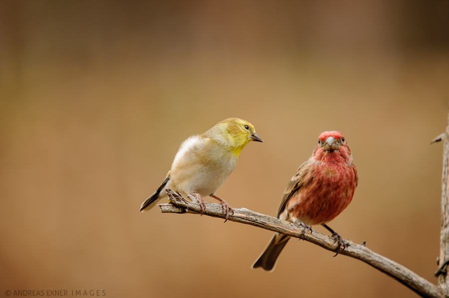 Finch affair