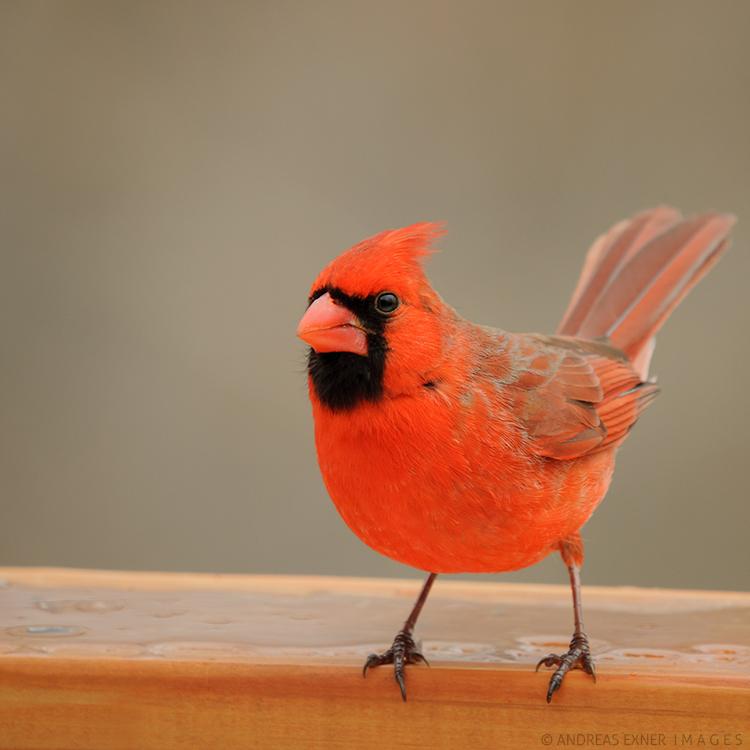 Northern Cardinal 1