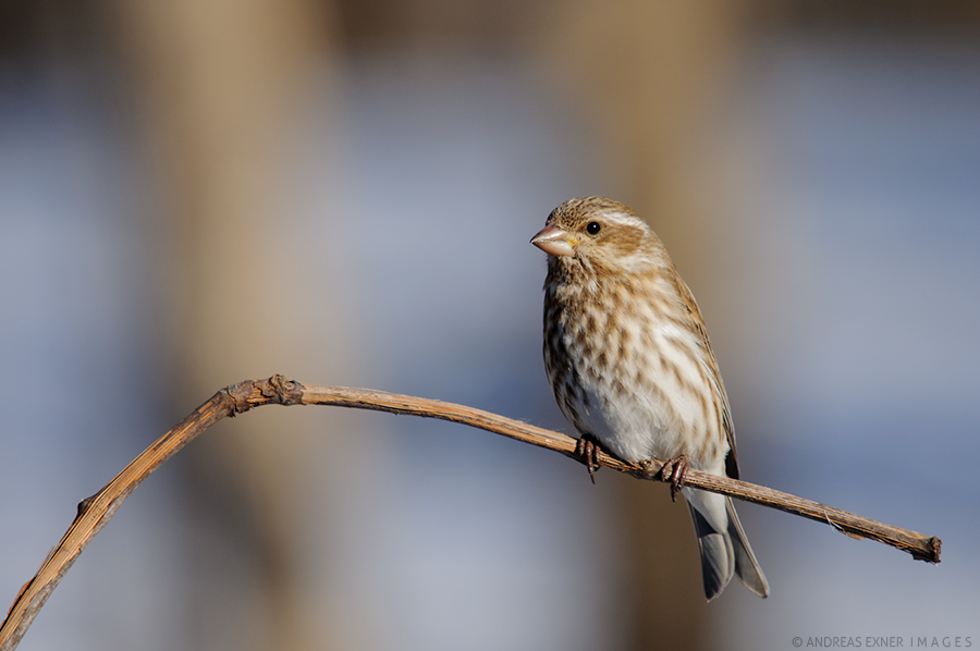Purple Finch, Female