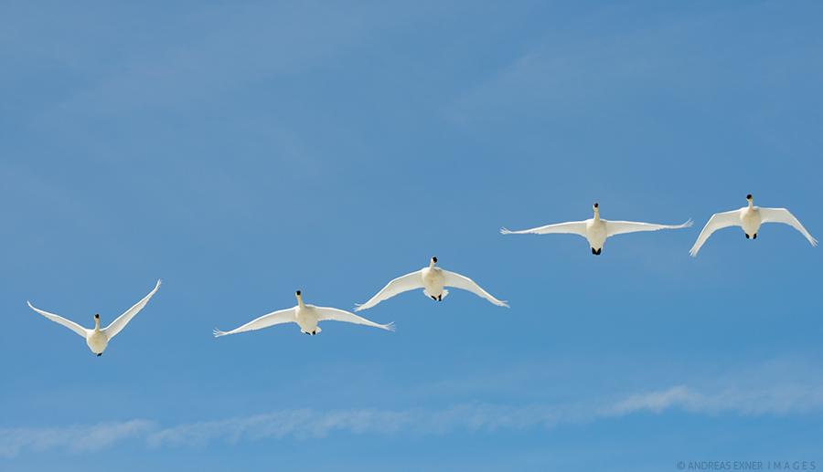 Five swans