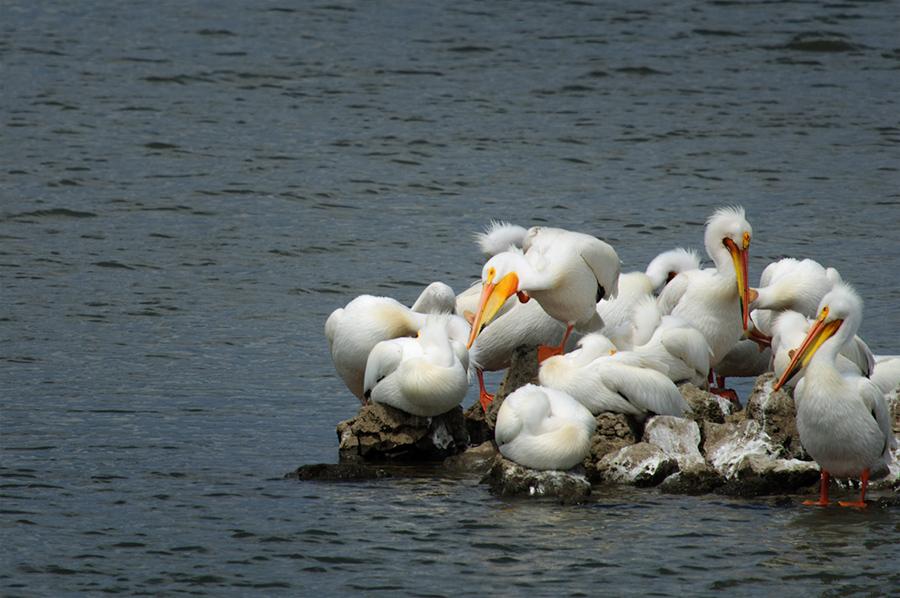 Pelicans on island