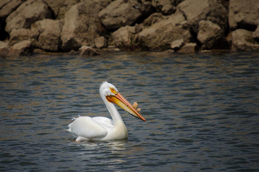 American White Pelican 2