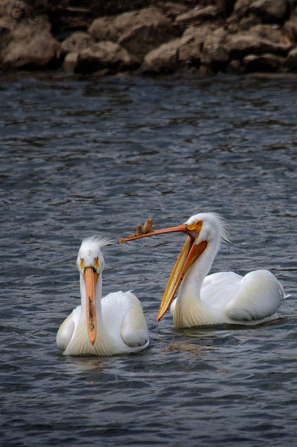 American White Pelicans 3