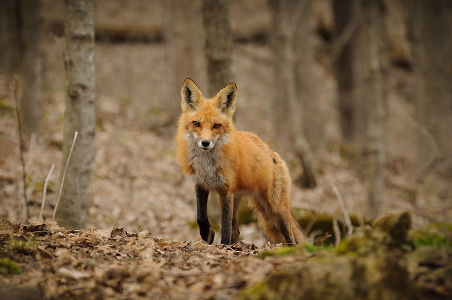 Red fox female 1