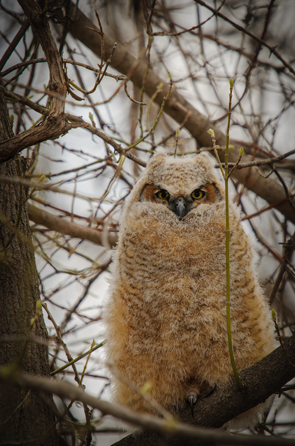 Great Horned Owl 4/27/13