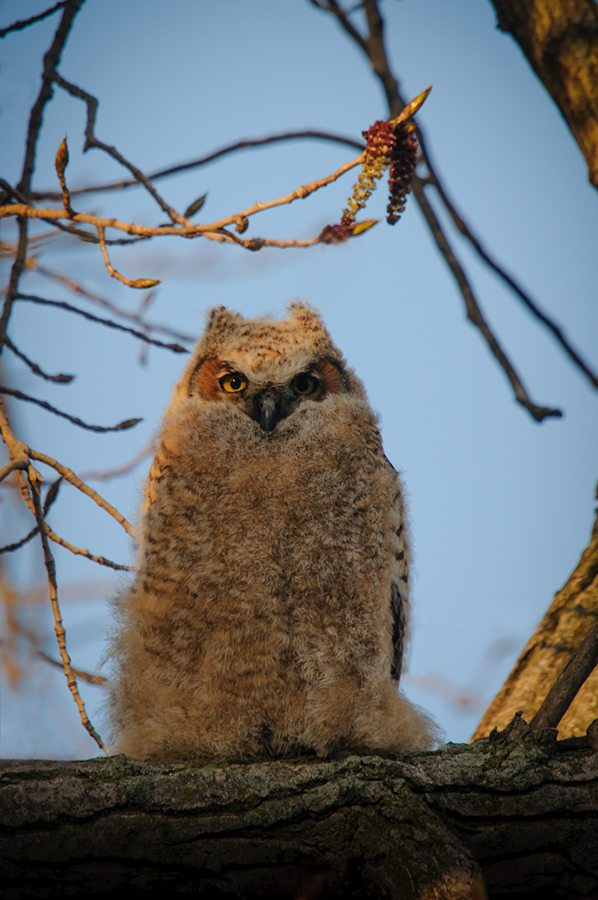 Great Horned Owl in the sun