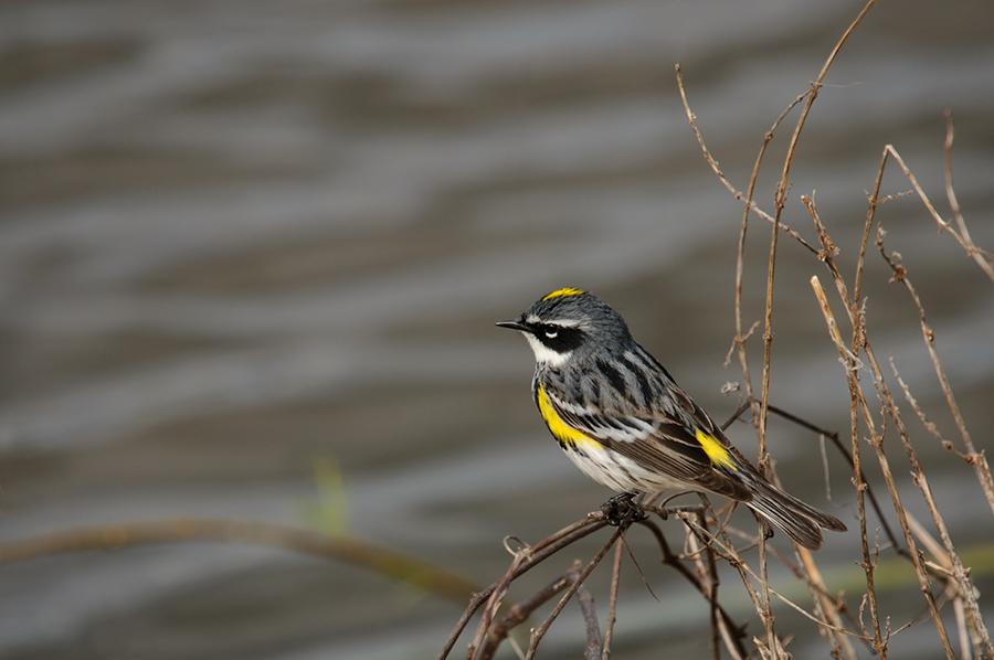 Yellow-rumped Warbler 3