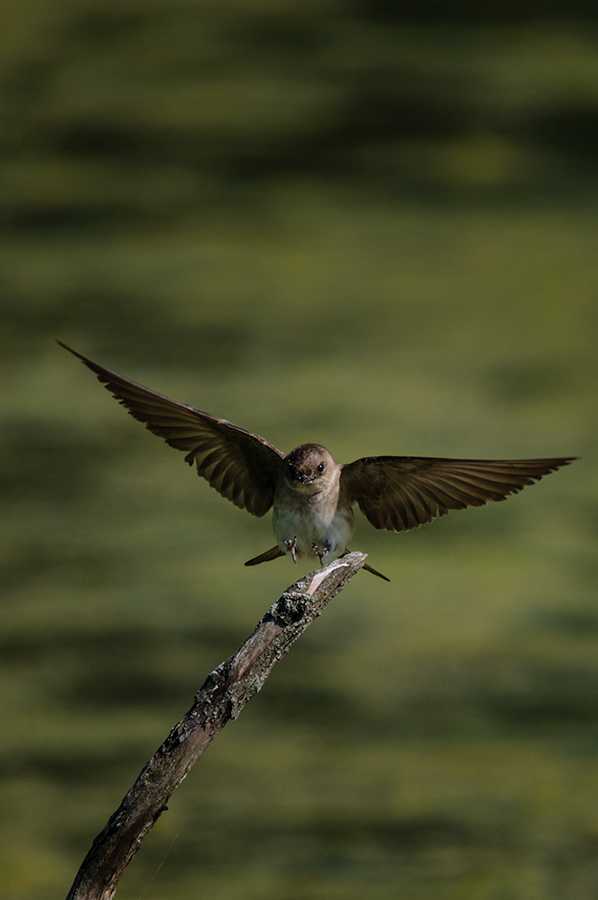 Northern Rough-winged Swallow 2