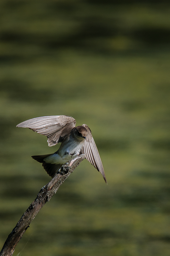 Northern Rough-winged Swallow 3