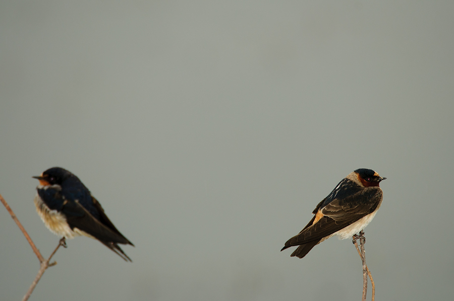 Cliff and Barn Swallow