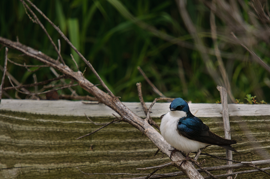 Tree Swallow 1