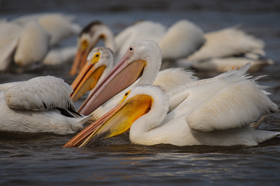 American White Pelicans 2