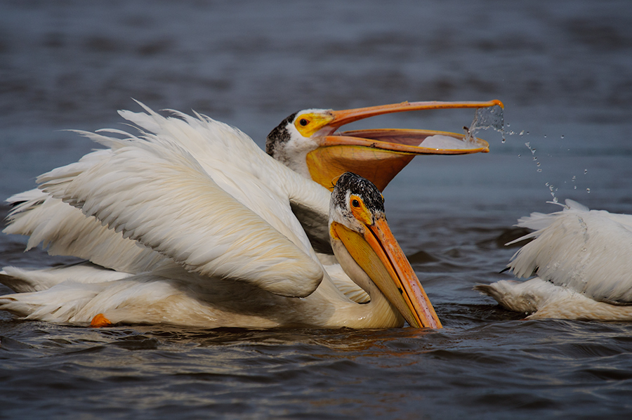 American White Pelicans 3