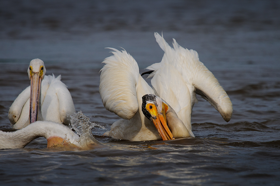 American White Pelicans 1