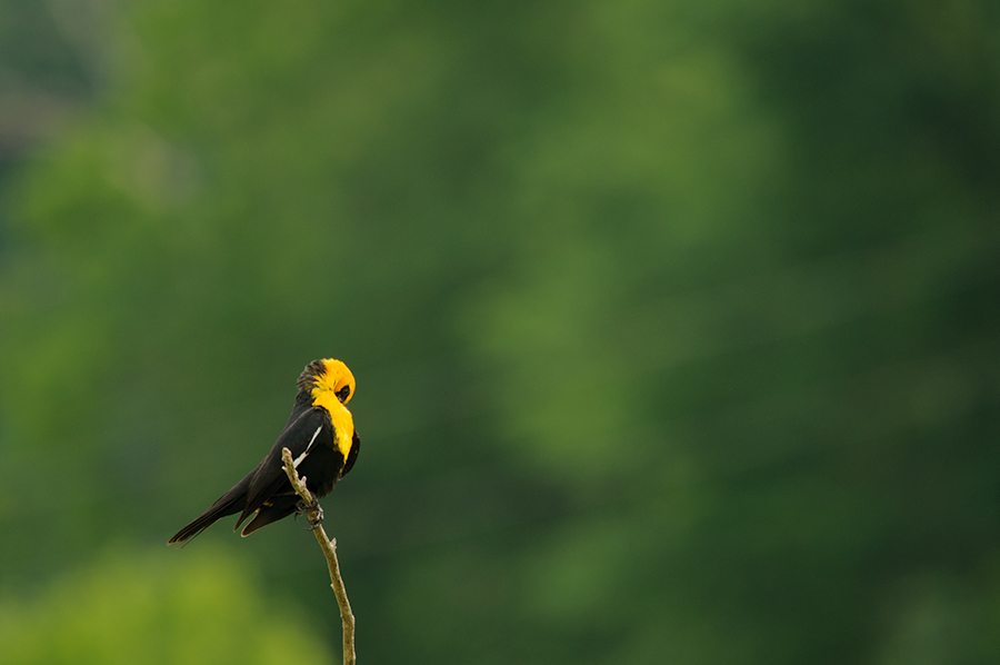 Yellow-headed Blackbird 2