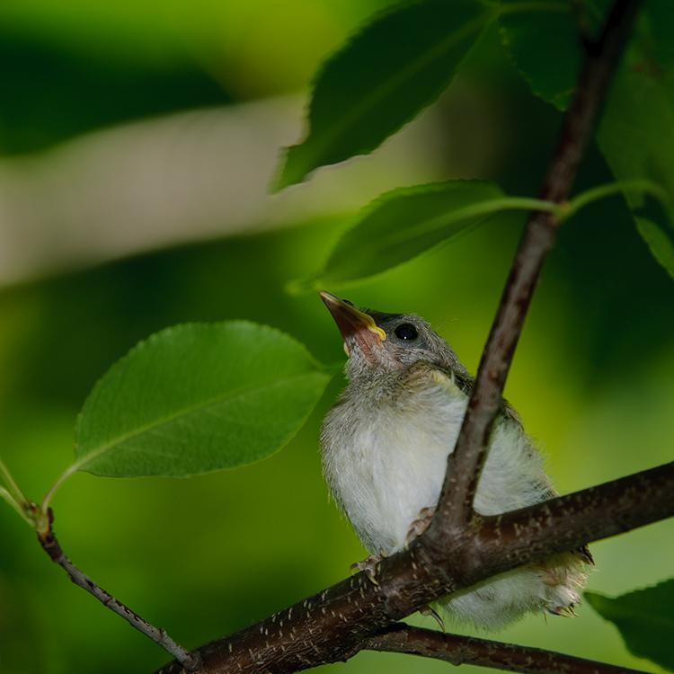 American Redstart, juvenile