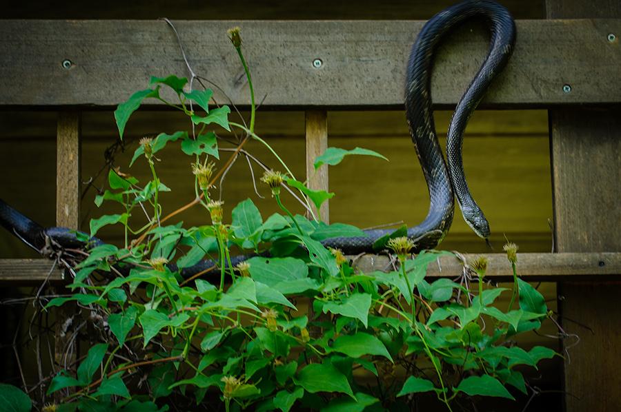 Black Rat Snake 1