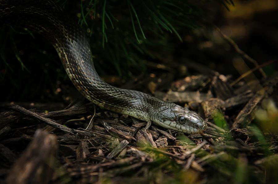 Black Rat Snake 2