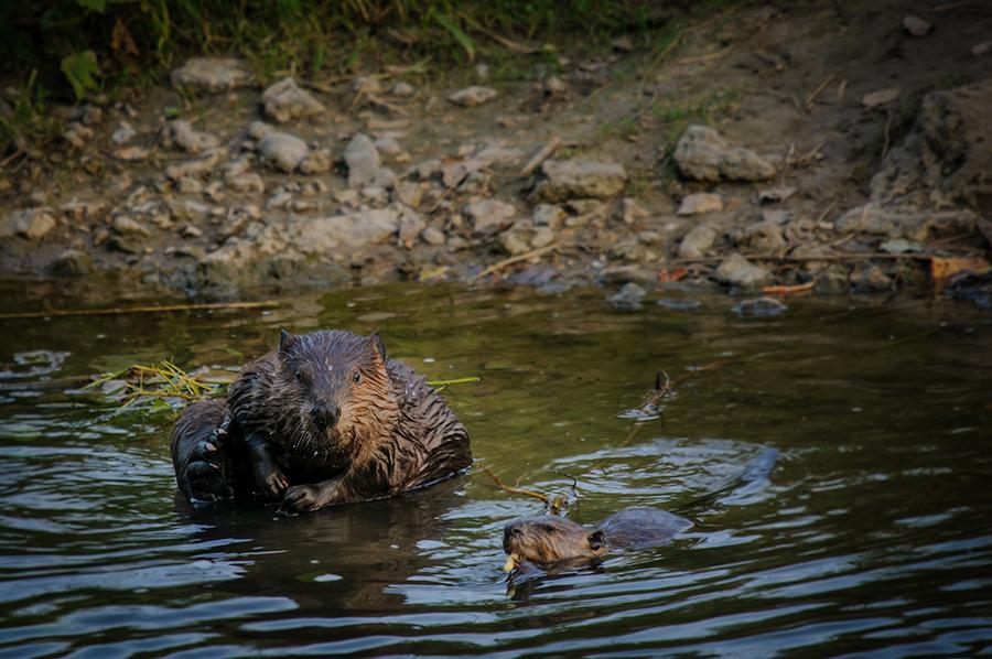 American Beaver 1