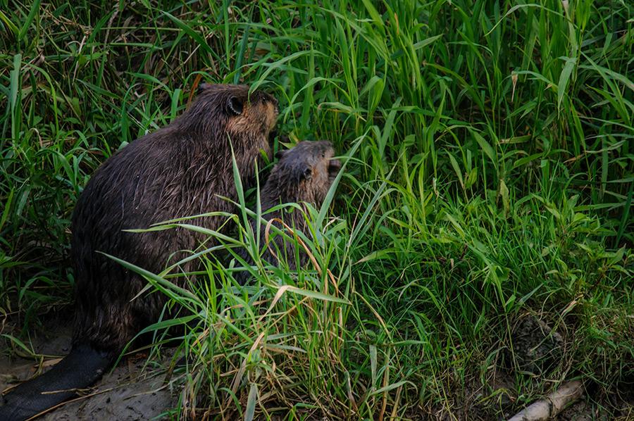American Beaver 2
