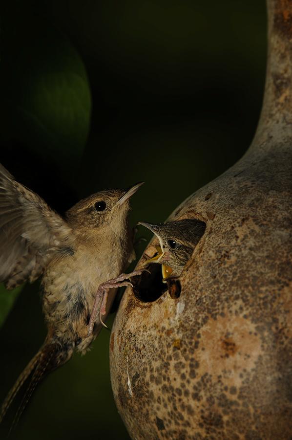 Feeding wrens