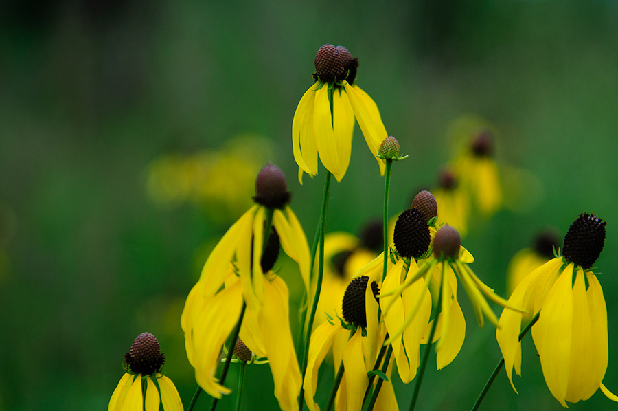 Yellow coneflowers