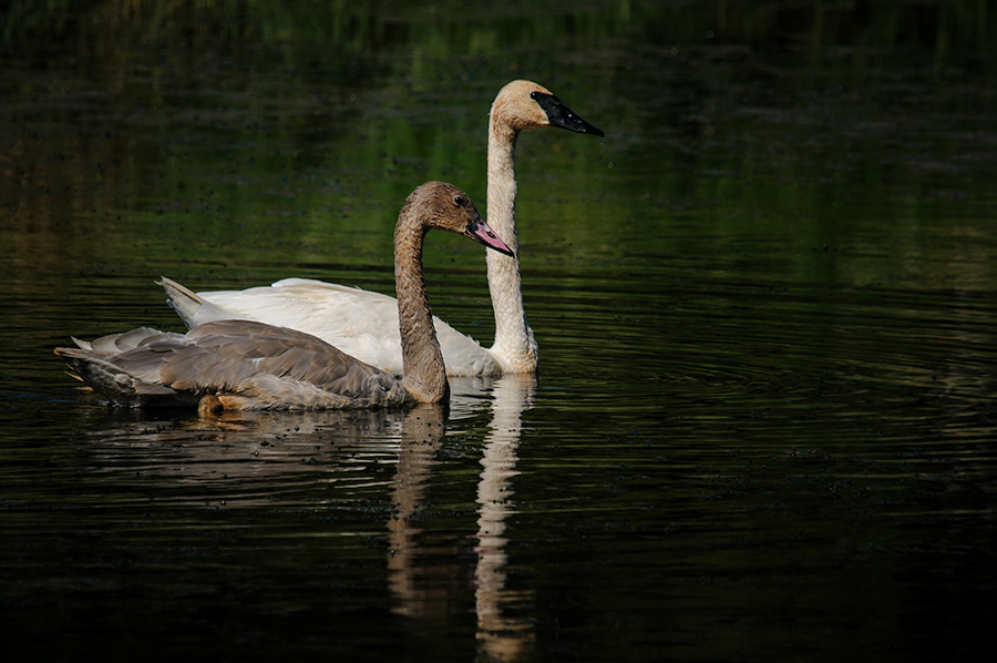 Trumpeter Swans 4