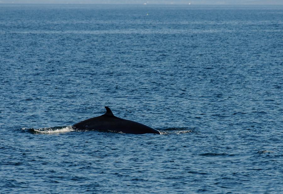 Minky Whale